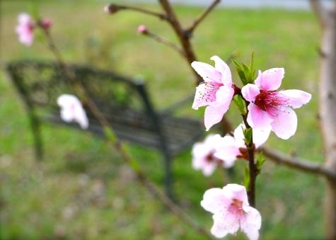 Peace Blossoms Spring in Atlanta
